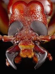 Eletica castanea face (yutanakase) Tags: macro insect lumix panasonic g5 coleoptera meloidae olympusomautobellows zerenestacker printingnikkor95mmf28a