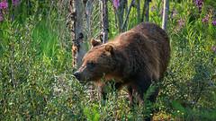 Walk in the Woods (dbushue) Tags: bear canada woods nikon britishcolumbia wildlife grizzly roadside fireweed grizzlybear canadianrockies 2014 kootenaynationalpark specanimal dailynaturetnc14 photoofthedaynwf14