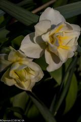 narcissus cheerfulness 4w-y, oneplant, perianthwhite - daffodil parts, jdy105 XX201104155318.jpg (rachelgreenbelt) Tags: unitedstates maryland daffodil greenbelt narcissus jonquil familyamaryllidaceae trumpetyellow perianthwhite narcissusgroup4double narcissuscheerfulness4wy 4doubledperianthandorcorona oneormoreflowersperstem n04perianthwhite
