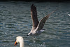 Fighting for bread (bertrandwaridel) Tags: summer lake bird birds bread switzerland suisse lausanne september vaud 2014 lakeleman lausanneouchy
