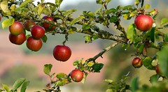 Alter Apfelbaum (balu51) Tags: rot herbst september apfelbaum wassertropfen 2014 morgenspaziergang obstgarten äpfel flechten alterapfelbaum copyrightbybalu51