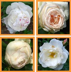 Ach mein geliebtes Jesulein (amras_de) Tags: flower fleur rose flor rosa roos blomma rosen gül blume fiore blüte blomst rós rozen virág lore bloem blóm çiçek floro roser kwiat flos ciuri kvet arrosa kukka rozes cvijet vrtnica flouer bláth cvet zieds ruusut õis trandafir floare róza ruža rózsa blome rozo žiedas rože ruže rossläktet