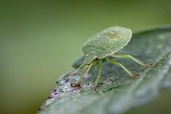 green bug (Bea Antoni) Tags: summer sommer natur nature animal tier canon tamron makro macro insekt insect käfer wanze bug grün green