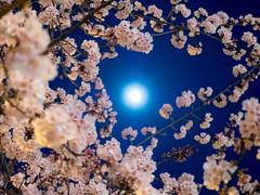 月の下にて (takanorimutoh) Tags: flower 桜 colorsinourworld