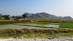 Rýžová pole okolo Hospetu (zcesty) Tags: dosvěta indie karnataka hory indie7 krajina pole india in