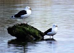 Great black-backed gull pair new to Anton Lakes (Nick.Bayes) Tags: great blackbacked gull pair new anton lakes