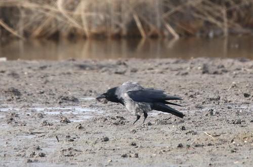 Carrion/Hooded Crow Hybrid