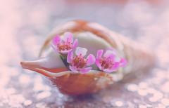 Good morning! (melike erkan) Tags: shell dof tabletop stilllife wordless flowers flower bokeh