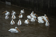 Wild white  pelicans at the Luling siphon, Louisiana......D800 (Larry Daugherty) Tags: americanwhitepelican whitepelican pelican anamalia chordata aves neornithes neoaves pelicaniformes pelecanidae pelecanus perthrorhynchos pelecanuserthrorhynchos siphon mississippiriver lulinglouisiana nikon nikond800 d800 nikon80400lens