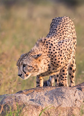 Young cheetah, Pilanesberg South Africa (knud.hald) Tags: blackrhinolodge knudhald limpopo outdoor pilanesberg pilanesbergsouthafrica2017 safari southafrica wildlife albatrostravel canon6d canonef400mmf56l canon ef400mmf56l africa chetah yourbestoftetoday travel wildanimals wildcats greatshot cats ngc naturewatcher