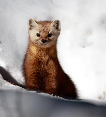 Pine Marten Surprise! (Explore) (rmikulec) Tags: pine marten wildlife nature animal animals wild mammal algonquin provincial park ontario canada hike hiking winter