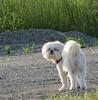 Missy Lit by Sunrise (Sheri in Reho) Tags: dog cute fountain sunrise tail shih tzu butt missy swishy