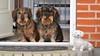 Tre gravhunde (Kenneth Gerlach) Tags: denmark dachshund wirehaired hund zealand danmark dackel haslev sjælland seeland ✔ gravhund dänemark troelstrup ruhåret brunbrownbraun