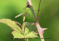 Tiger  Crane-fly, Nephrotoma flavescens_signed