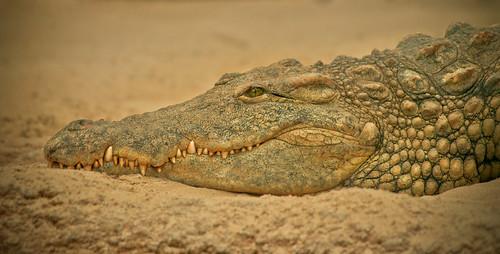 Crocodylus Niloticus - Nijlkrokodil [Explored!!!]