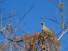 (  / Yorozuna) Tags: birds pigeon dove   orientalturtledove  rufousturtledove