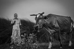Cowboy (Talha Ryan) Tags: people blackandwhite cow cowboy bangladesh