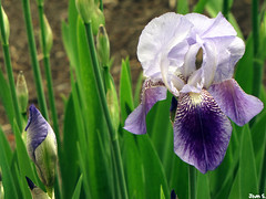 Une beaut... (Jean S..) Tags: iris light white flower green canon spring day purple bloom