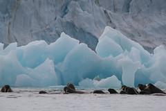Spitsbergen, Norway. (richard.mcmanus.) Tags: ocean norway norge svalbard arctic getty walrus spitsbergen gettyimages mcmanus httpwwwgettyimagescouksearchsearchaspxassettypeimagefamilycreativeartistrichardmcmanus