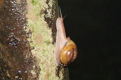 Snail (Liuzhou, Guangxi/) 5495 (Petr Novk ()) Tags: china animal asia snail asie  invertebrate guangxi liuzhou     na