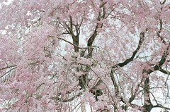 (katie de bruycker) Tags: japan ito sakura cherryblossoms peninsula izu shizouka