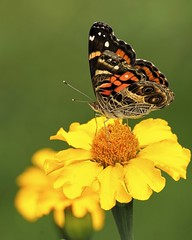 Painted Lady (Charlemagne OP) Tags: usa flower butterfly va charlottesville monticello americanpaintedlady vanessavirginensis