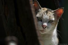 I'm watching you (leporcia) Tags: cats animals cat gatos gato animales katze gatto katzen animalplanet feralcat