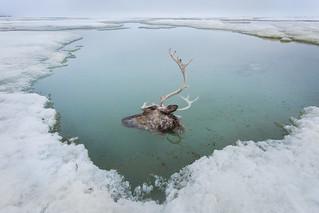 Beheaded Caribou