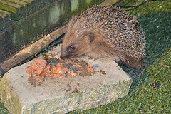 Hedgehog Eating -  Erinaceinae (Hatto26) Tags: house hedgehog hog erinaceinae hogitat