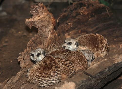 Litter of Meerkats