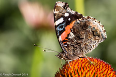 July (rdroniuk) Tags: butterflies insects redadmiral papillon insectes vanessaatalanta redadmiralbutterfly papillonvulcain butterfliesofontario