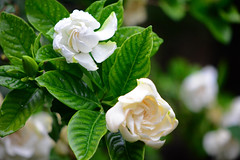 Doubel-flowered Gardenia (qooh88) Tags: white green ivory shrub gardenia shr rubiaceae       doubelfloweredgardenia    gardeniajasminoidesfovalifolia  doubelflowered