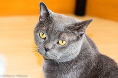 Charly (spitzi1701) Tags: cats hair short british katze katzen britishshorthair bkh