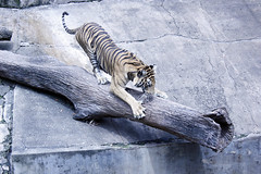 Tiger (Achala Photography) Tags: animal    achala  rajapaksha haiwan