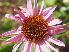 Echinacea P8033314 (lindasandford) Tags: flower echinacea olympus e500 olympuse500