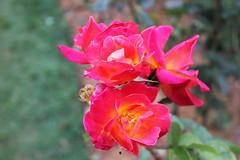 Rose Flowers (Hakgala Botanical Garden) (Achala Photography) Tags: flowers flores flower fleurs bunga 花 꽃 鲜花 цветы achala rajapaksha ดอกไม้ फूल الزهور ফুল மலர்கள் මල්