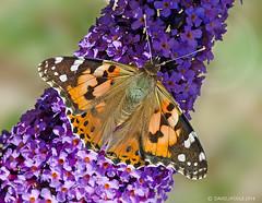 Painted Lady (Crazybittern1) Tags: butterflies insects paintedlady sigma70300mmmacro lancashirewildlifetrust nikond7000