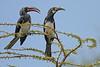Hemprich's Hornbill courting couple (Rainbirder) Tags: kenya ngc npc baringo hemprichshornbill tockushemprichii rainbirder