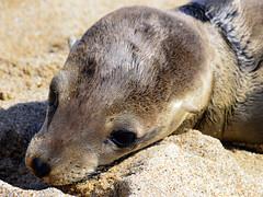 Seal Pup (danorth1) Tags: seal pup huntingtonbeach danorth1