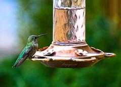 Hummingbird (Motographer) Tags: california summer usa bird hummingbird bokeh olympus omd em1 motographer 40150mmf456 mzuiko fotografikartz motograffer