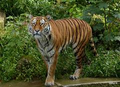 21-Katinka (TiGa-Nbg) Tags: felix tiger polarbear vera tiergarten nrnberg katinka samur sibirischer