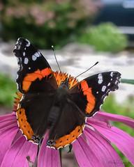 Perfect Position (KWPashuk) Tags: red orange flower nature butterfly garden insect nokia purple echinacea admiral 1020 lumina kwpashuk kevinpashuk