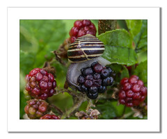 Snail on Blackberries (Travels with a dog and a Camera :)) Tags: uk england black southwest west macro art digital photoshop bristol berries pentax unitedkingdom south july snail cc ii di if af tamron blackberries xr 56 ld lightroom 2014 18200mm k30 f3563 asperical justpentax pentaxart pentaxk30 tamronaf18200mmf3563xrdiiildaspericalifmacro lightroom56 photoshopcc2014
