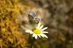 Sweden 2014, daisy and butterfly (SS) Tags: blue light summer white nature colors yellow butterfly photography moss dof angle pentax sweden bokeh wildlife daisy sverige k5 argus 2014 silverstuddedblue plebejus ss