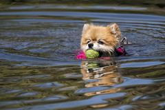 Radiating Love (gimmeocean) Tags: nyc ny newyork cute swimming centralpark mowgli pomeranian fetch thepond swimmingdog