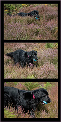 It's a getting closer............ (Missy2004) Tags: dog triptych heather missy flatcoat studio26 assignment15diptychstriptychsetc