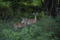 Mother and Child (gimmeocean) Tags: newjersey nj doe deer fawn bambi murphyslaw rahway buthappyanyway notasunsetshot miltonlakepark