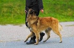 Flammeus Shake Before Use - Harmi (10) (Contact: krista.rosenlof@gmail.com (Fin, Eng)) Tags: shepherd belgian barbi harmi pinkki belgi flammeus