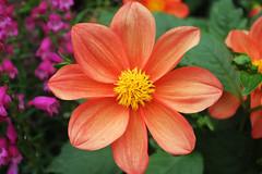Flower (Hakgala Botanical Garden) (Achala Photography) Tags: dahlia flowers flores flower fleurs bunga 花 꽃 鲜花 цветы achala rajapaksha ดอกไม้ फूल الزهور ফুল மலர்கள் මල් ඩේලියා