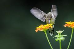 Sweet Nectar 345/365 (Maggggie) Tags: 365 hummingbird rubythroatedhummingbird flowers lantana garden 96 explored